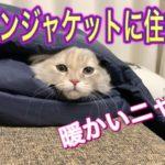 脱ぎ捨てたジャケットに住みつく子猫がこちら【スコティッシュフォールド】