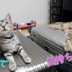 【夏バテ対策】アルミ製のスーツケースの上で涼む猫 Cool Cat's Body on RIMOWA【アメリカンショートヘア】子猫 リモワ