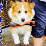 【犬】ライフジャケットを着ても溺れる犬Drowning dog【コーギー】